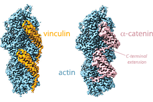 Mei eLife figure showing vinculin and alpha-catenin bound to actin